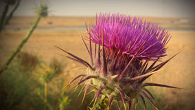 Desert Thistle Flower Royalty Free Stock Image