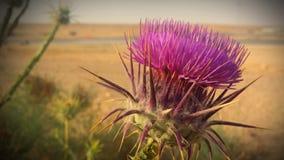Desert Thistle Flower. A desert thistle flower in full bloom.  Photo was taken in Jordan Royalty Free Stock Image