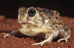 Desert toad. The desert toad,Notaden nichollsi, is an inhabitant of the Western Australian deserts. It sleeps 10 months a year and only comes out of the ground Stock Photos