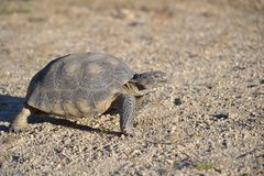 Desert tortoise Stock Photography