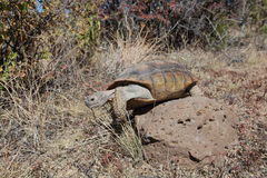 Desert Tortoise Climbing Over Rock Stock Photo
