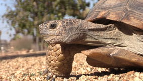 Desert Tortoise Close Up Stock Image
