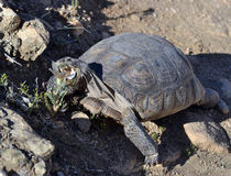 Desert tortoise feeding Royalty Free Stock Photography