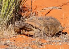 Desert Tortoise, Gopherus agassizi Royalty Free Stock Photo