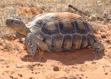 Desert Tortoise, Gopherus agassizii Royalty Free Stock Photos