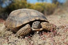 Desert Tortoise Head On. A desert tortoise in some sparse grassland Royalty Free Stock Image