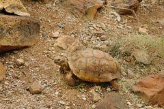 Desert tortoise in the sand walking, slow-moving land-dwelling r Stock Photos