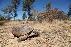 Desert Tortoise Royalty Free Stock Photos