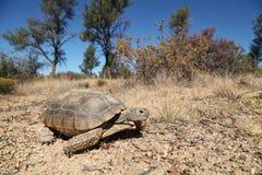 Desert Tortoise. A desert tortoise in some sparse grassland Royalty Free Stock Photos