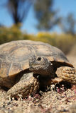 Desert Tortoise Up Close Stock Photos