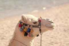 Desert transport, travelling, travel. Summer vacation concept. Camel animal head decorated with pompoms Royalty Free Stock Photos