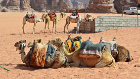 Desert Transportation. Camels of the local Bedouins in Wadi Rum, Jordan royalty free stock photo