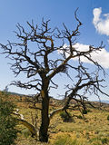 Desert Tree. A dead tree stands in the desert of Capitol Reef National Park, Utah Royalty Free Stock Image
