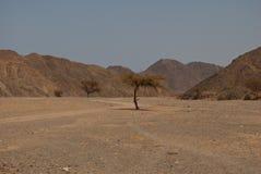 Desert tree. A single lonely green tree Stock Photos