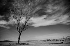 Desert tree. A lone, bare tree in the desert with wispy white clouds in the background Stock Photography