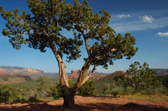 Desert Tree. Tree in Sedona Arizona framing Cathedral Rock Royalty Free Stock Photography