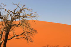 Desert tree. Dead tree standing in front of a dune and a blue sky in the namibian desert stock images