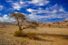 Desert tree Royalty Free Stock Photos