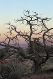 Desert tree Royalty Free Stock Photography