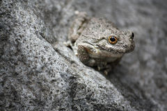 Desert tree frog Stock Photography