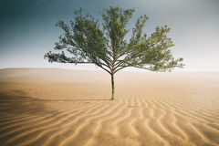 Desert tree Royalty Free Stock Image