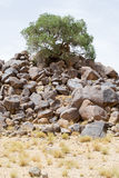 Desert tree growing on a mountain of rocks -portrait- Royalty Free Stock Photo