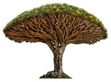 Cut out desert tree. Dragon blood tree isolated