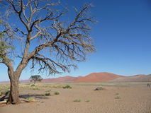 Desert tree. A lonely tree and red desert Stock Images