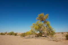 Desert Tree in the Mojave Stock Photo