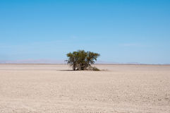 Desert with a tree, pampa del Tamarugal Stock Images