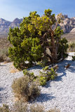 Desert Tree at Red Rock Canyon Stock Photos