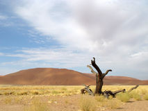Desert. Tree and sand in Namibian Desert, Africa Royalty Free Stock Images