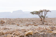 Desert tree. Stock Photography