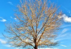 Desert tree on a winter day. Royalty Free Stock Images