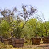 Desert Trees Nursery Stock Images