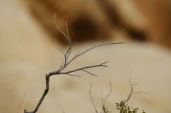 Desert Twig Royalty Free Stock Image