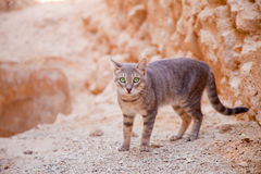 Desert valley cat Royalty Free Stock Photography