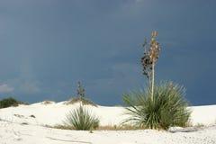 Desert vegetation. Desert plant in white sand dunes Royalty Free Stock Images