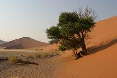 Desert vegetation. Green tree standing at the bottom of a red dune in the namibian desert royalty free stock image