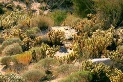 Desert vegetation. Vegetation of the desert of baja california Stock Photo