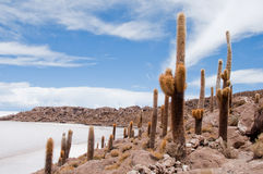 Desert vegetation on Incahuasi island (Bolivia))) Royalty Free Stock Image
