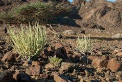 Desert vegetation in Oman Royalty Free Stock Photos
