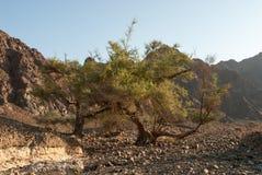 Desert vegetation in Oman Stock Images
