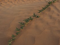 Desert vegetation Royalty Free Stock Photography