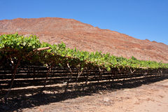 Desert vineyard Stock Photo
