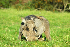 Desert warthog Royalty Free Stock Photography
