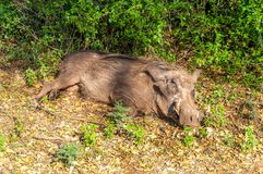 Desert warthog Stock Photos