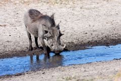 Desert Warthog, Phacochoerus aethiopicus, drinks water from the waterhole, Namibia Royalty Free Stock Image
