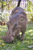 Desert  Warthog,Phacochoerus aethiopicus, in Hwange National Par Stock Photo
