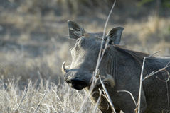 Desert Warthog, Phacochoerus aethiopicus, male portrait, Gorongosa National Park, Mozambique. One Desert Warthog, Phacochoerus aethiopicus, male portrait Stock Image